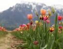 tulip-field-4