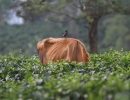 Life in a Tea Plantation