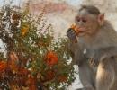 Hampi Monkey