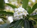 Frangipani Blossoms, Sulawesi