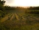 Vineyard, Burgenland, Austria