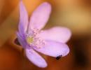 Beetle on Blossom