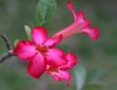 Pink Blossom, Indonesia