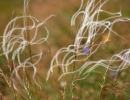 Feathery Grass